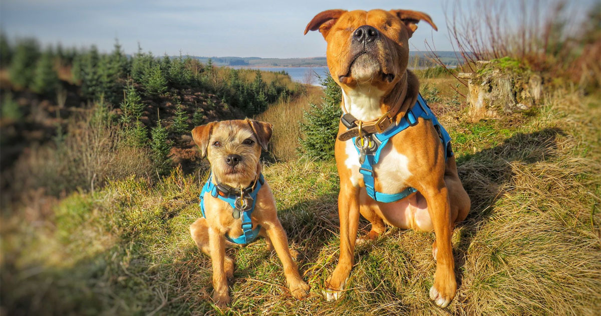 blind dog Amos has his own guide dog Toby