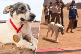 Cactus the dog runs marathon in the Sahara Desert.