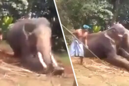 elephant being beaten
