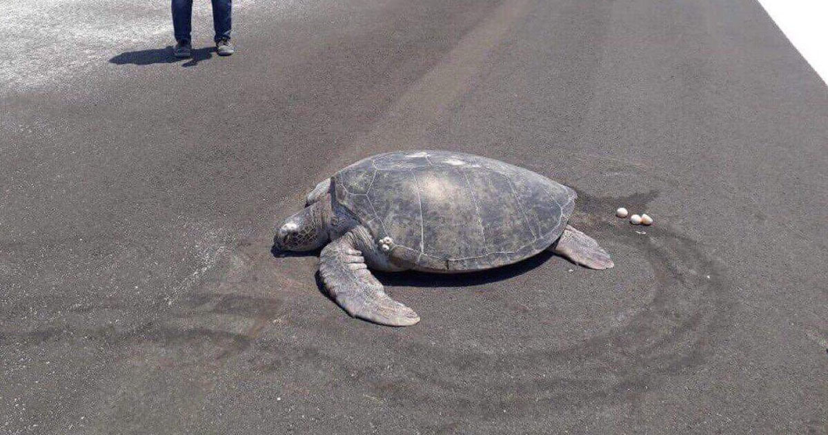 Endangered turtle gives birth on runway