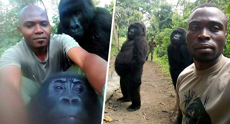 Gorillas posing for selfies