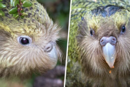 kakapo the critically-endangered parrot