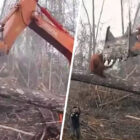 Orangutan Battling Bulldozer In David Attenborough Doc Leaves Viewers In Tears