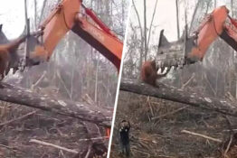 Orangutan fights bulldozer in David Attenborough documentary