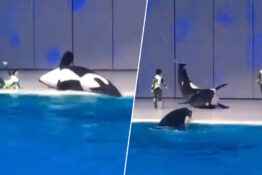 orca beached at aquarium