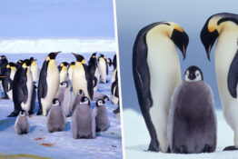 Emperor penguin colony wiped out.