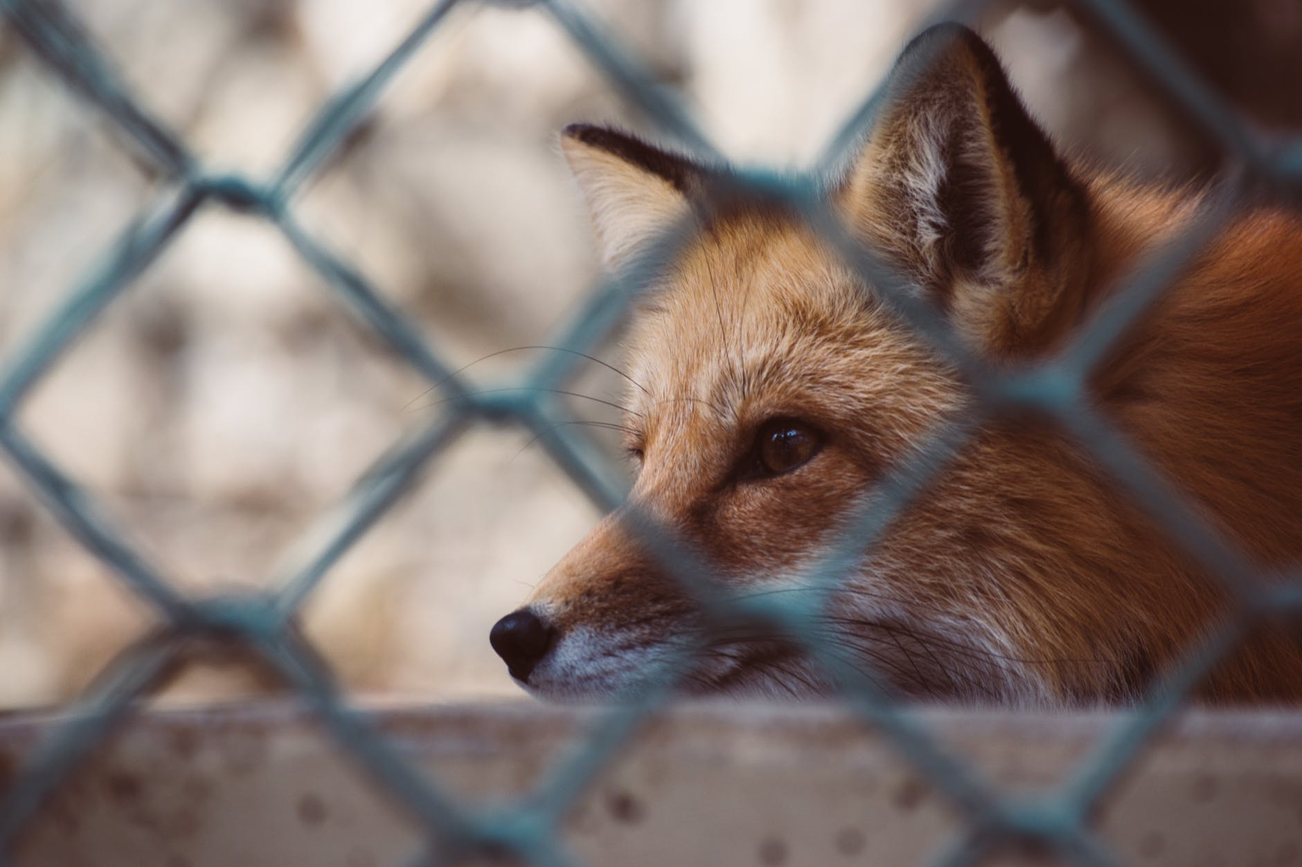 fox behind cage