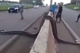 giant snake crossing the road