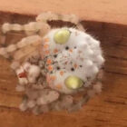 'Alien-Like Sushi Spider' Discovered In Australia