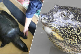 The last female Yangtze giant softshell turtle has died.