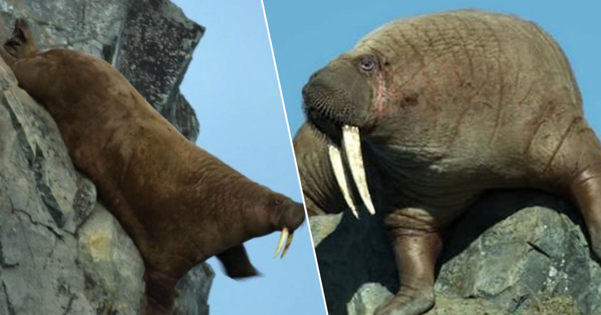 Walrus Our Planet