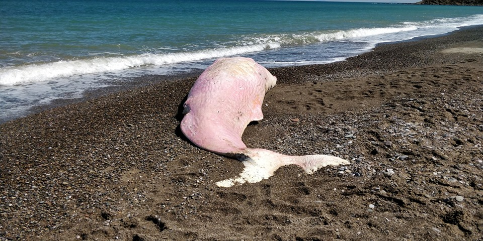 Sperm whale found with plastic in stomach