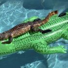 Florida Alligator Soaks Up Sun On Alligator Pool Float