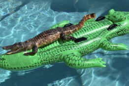 Lilo alligator