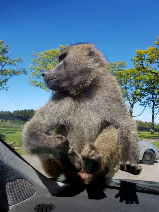 Monkey pees in car after dad laughs at penis