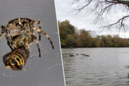 Spider causes woman to drive car in river