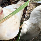 One-In-A-Million Albino Bird Is Found In Tasmania