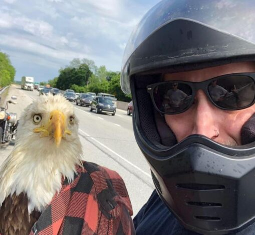 Man rescues bald eagle from busy road.