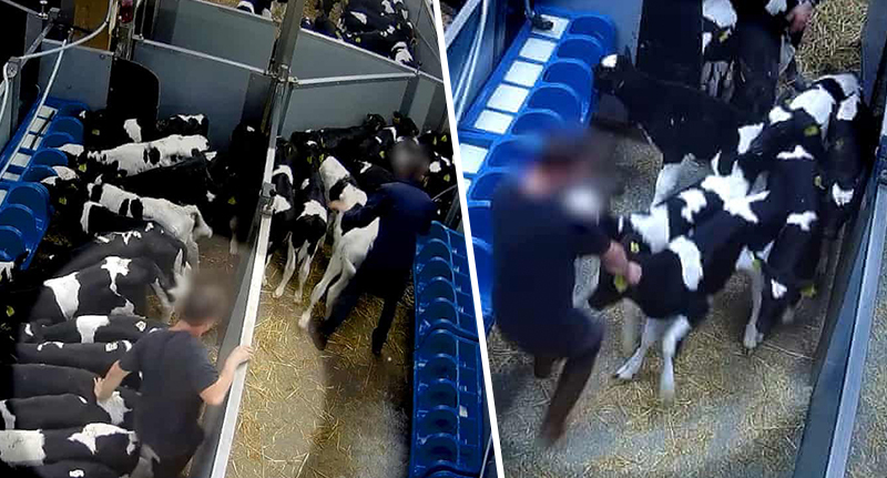 Footage shows calves being beaten by farmers