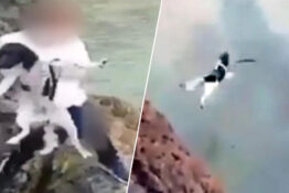 dogg thrown off cliff cornwall