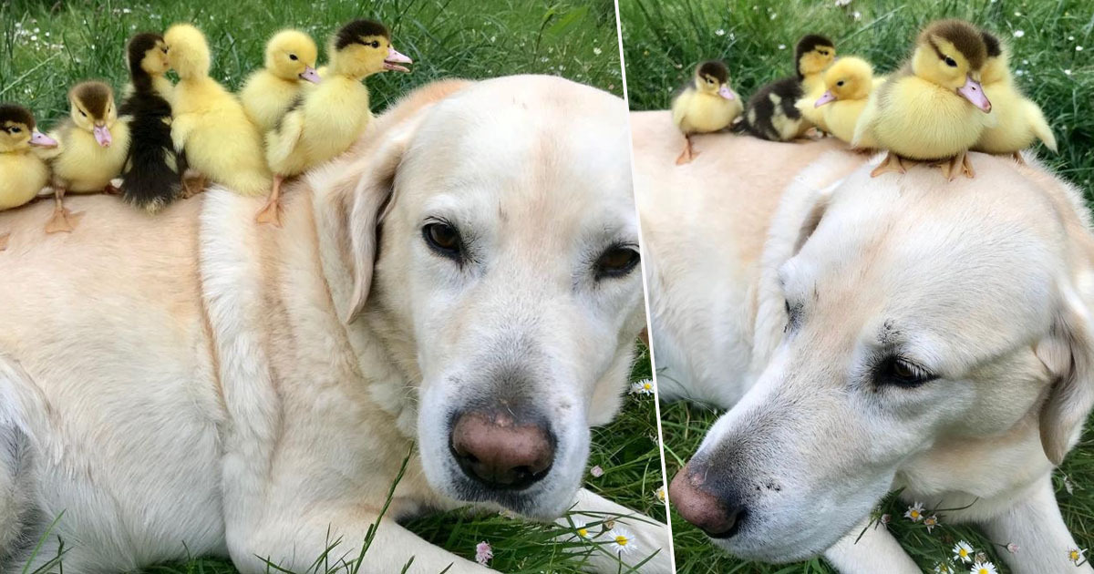 Labrador Who Took In Nine Ducklings After Their Mother Disappeared Adopts Six More