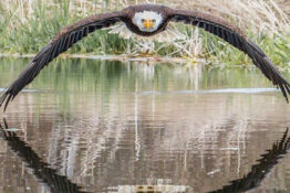 Photographer captures photo of eagle 'staring daggers'