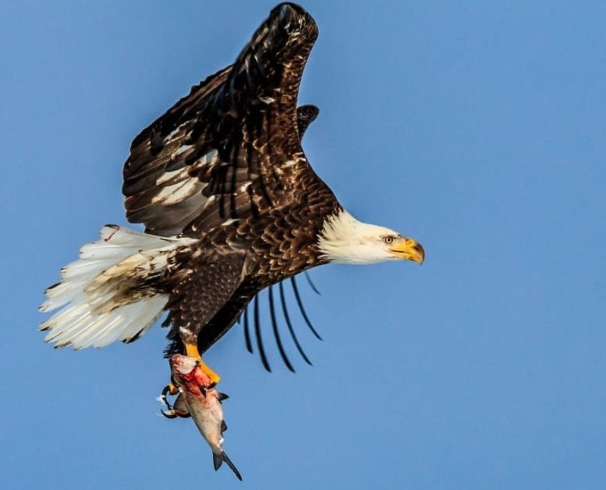 Photographer captures bald eagle