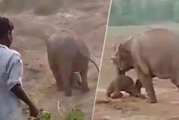 Elephant charges and kills person.