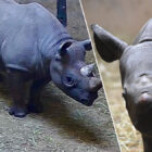 Critically Endangered Black Rhino Gives Birth To Incredibly Rare Calf