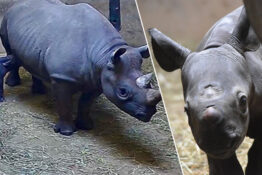 Rare baby rhino born at zoo