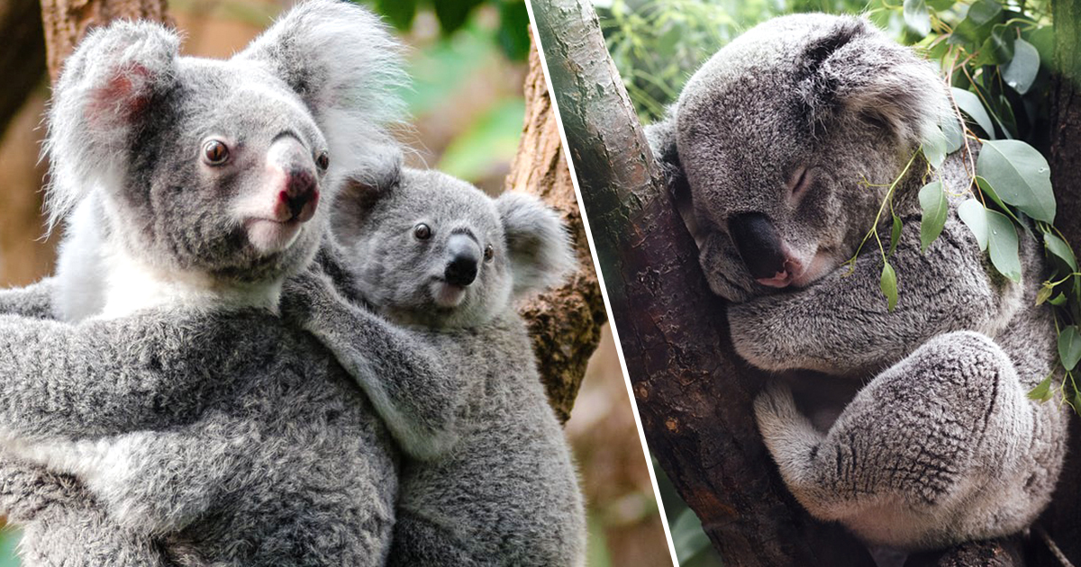 Koalas Are Now 'Functionally' Extinct