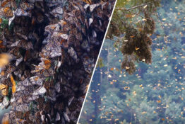 Sound Of Millions Of Monarch Butterflies Taking Flight Has Left The Internet Speechless