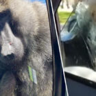Monkey Wees In Window Of Dad Who Laughed At His Penis