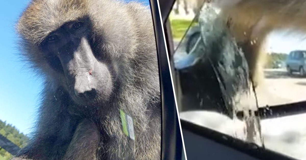 Monkey wees through window after dad laughs at penis