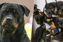 Rottweiler gives birth to UK's largest ever litter