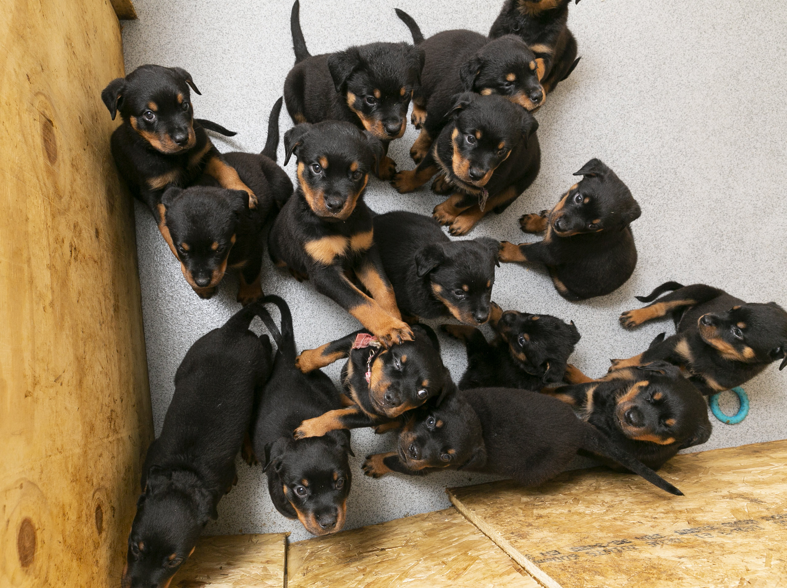 Rottweiler gives birth to 16 puppies
