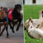 Calls For End To Greyhound Racing After 1000 Deaths Last Year