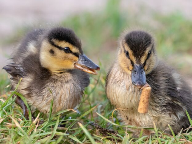Photographer captures duckling eating cigarette butts.