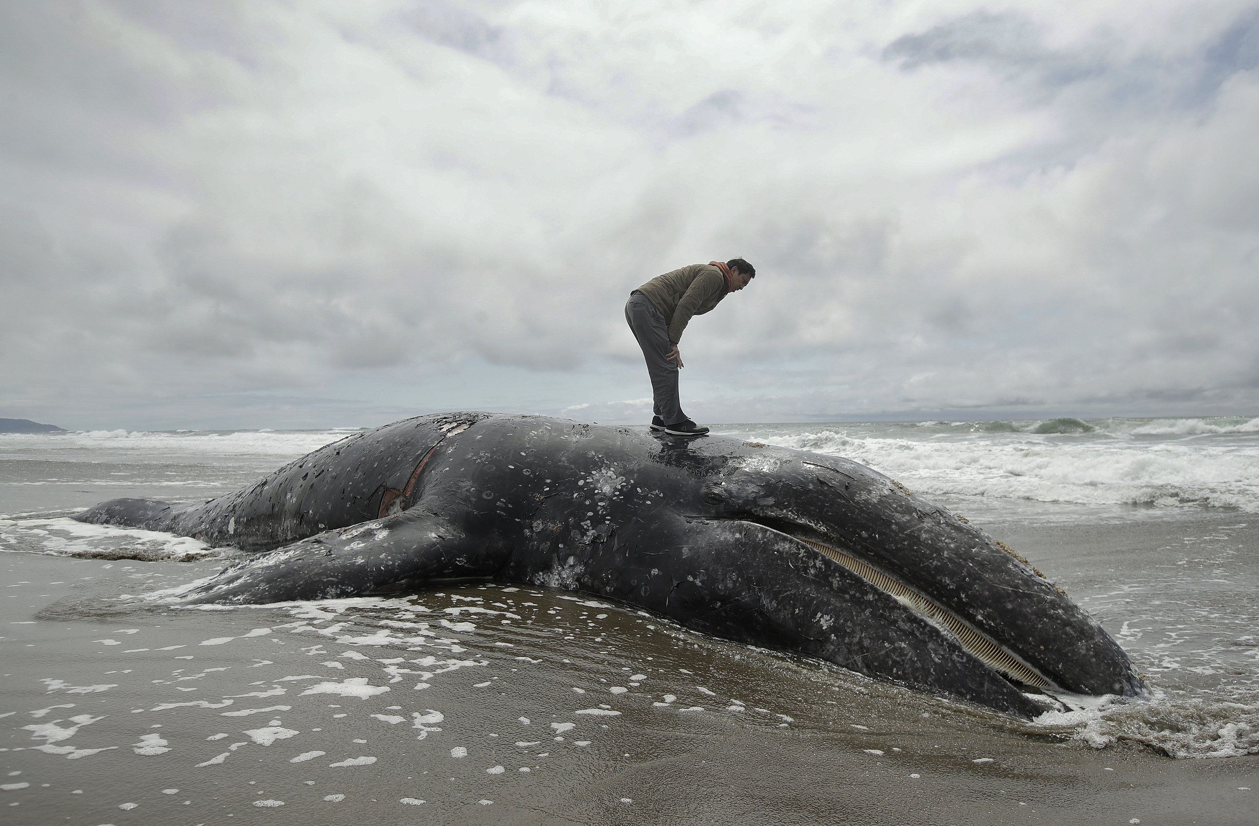 dead gray whale off the coast of california
