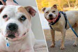 Dog has stayed at Battersea Dogs Home for 600 days.