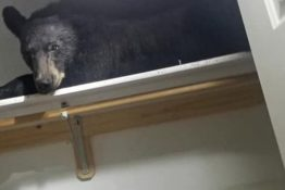 Bear Falls Asleep In Wardrobe After Entering Home And Bolting The Door
