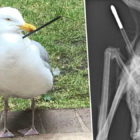 Seagull Survives Arrow And Airgun Attacks