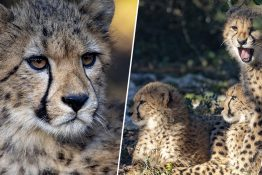 Cheetahs are going extinct.