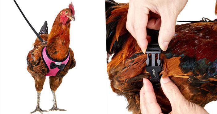 You Can Now Get A Harness For Your Chicken To Safely Cross The Road