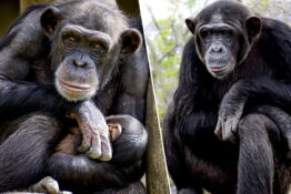 Chimpanzee meat being sold on British markets