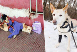 Paralysed Dog Dumped On Street With Broken Wheelchair And Diapers
