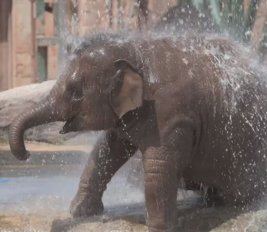 Elephant makes incredible recovery from virus