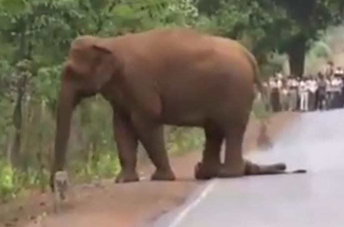 Elephant seen carrying dead baby in procession