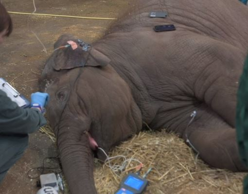 Elephant makes recovery from virus