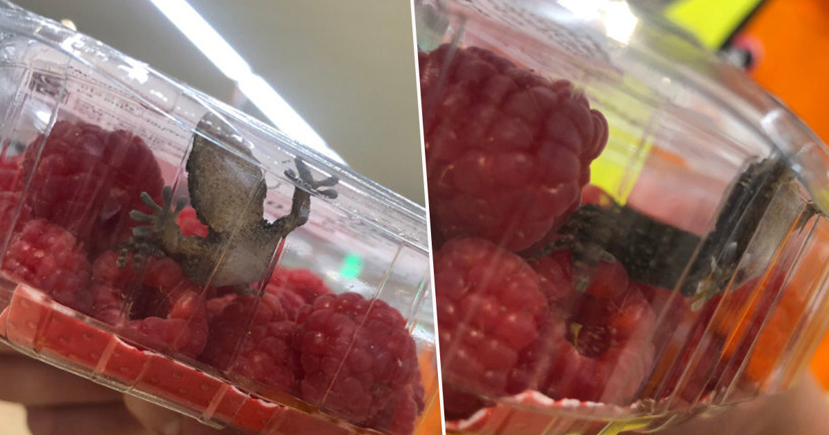 Stray Gecko Discovered In Supermarket Raspberries Finds Forever Home